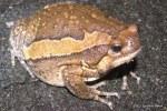 Banded Bullfrog Kaloula pulchra