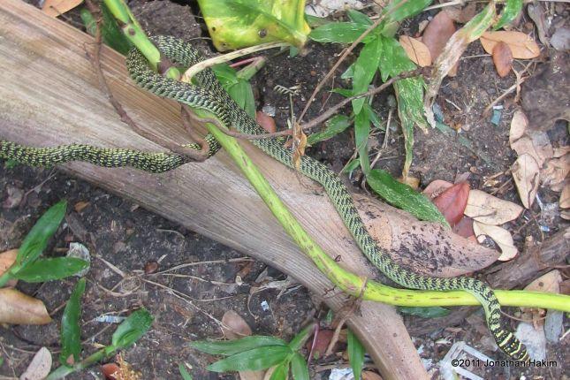 Golden Tree Snake Chrysopelea ornata in Thailand