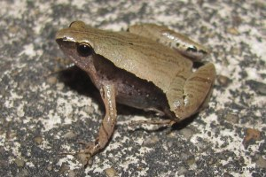 Dark-side Narrowmouth Frog