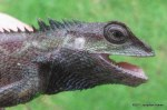 Indo-Chinese Forest Lizard Calotes mystaceus head shot