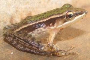 Three-striped Grass Frog