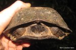 Asian Leaf Turtle Cyclemys dentata