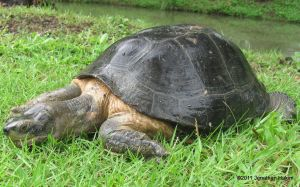 Yellow-headed Temple Turtle Hieremys annandalii sick