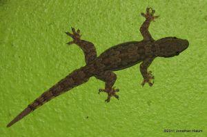 Flat-tailed House Gecko Hemidactylus platyurus