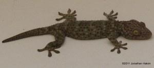 Tokay Gecko Gecko gekko