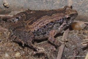 Ornate Narrowmouth Frog