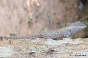 Male Indo-Chinese Forest Lizard Calotes mystaceus