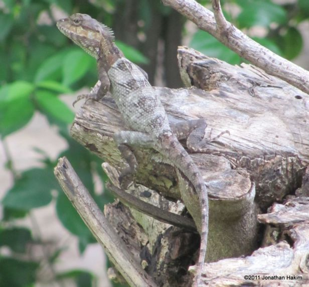 Indo-Chinese Forest Lizard Calotes mystaceus