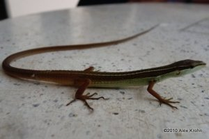 Long-tailed Grass Lizard Takydromus sexlineatus in Vietnam