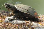 Malayan Snail-eating Turtle Malayemys subtrijuga