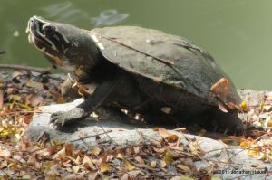 Malayan Snail-eating Turtle Malayemys subtrijuga