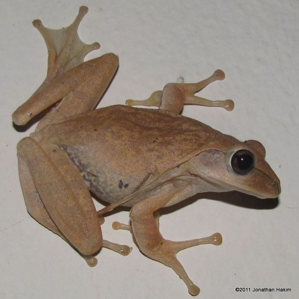 Four-lined Treefrog