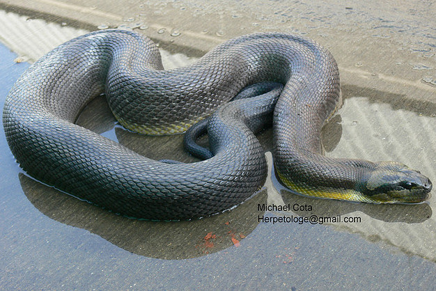 Puff-faced Water Snake (Homalopsis buccata) adult