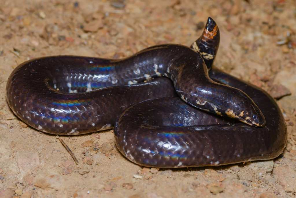jodi's Cylindrophis jodiae ruffus red-tailed pipe snake kaeng krachen thailand