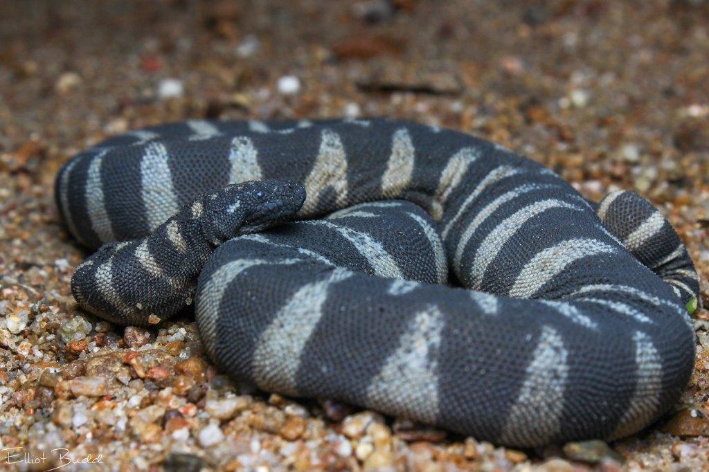 Little file snake banded marine granulated Acrochordus granulatus austrailia