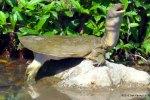 Chinese Softshell Turtle (Pelodiscus sinensis) sek keung lo hong kong pin