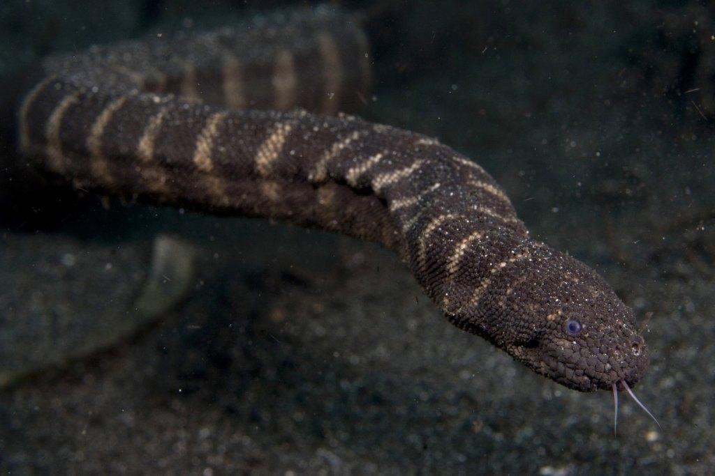 marine file snake little marine granulated Acrochordus granulatus austrailia