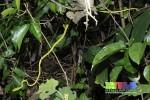 Asian Vine Snake Ahaetulla prasina Singapore