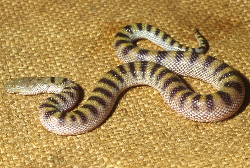 Keel-bellied Water Snake Bitia hydroides malaysia งูปากกวางทองสัน