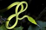 Oriental Whip Snake Ahaetulla prasina Singapore