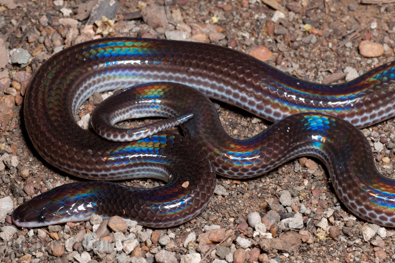 Sunbeam Snake Xenopeltis unicolor laos