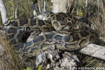 Burmese Python (Python bivittatus bivittatus) everglades national park