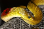 Red-necked Keelback Rhabdophis subminiatus