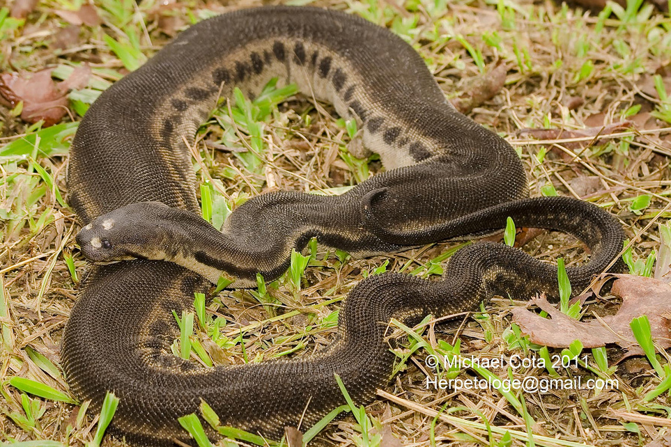 Javan Wart Snake Elephant Trunk Snake Acrochordus javanicus Ngu Nguang-chang งูงวงชาง