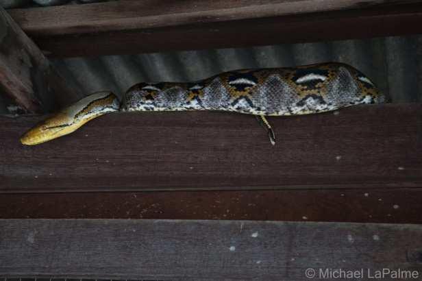 Reticulated Python Malayopython reticulatus Dusit bangkok thailand