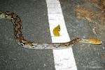 juvenile Reticulated Python (Python reticulatus) khao yai