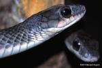rat snakes bangkok zoo thailand
