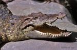 Siamese Crocodile  Crocodylus siamensis Bangkok Zoo Bernard DUPONT