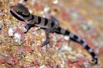 Cardamon Forest Gecko  Cyrtodactylus intermedius Khao Yai Bernard DUPONT
