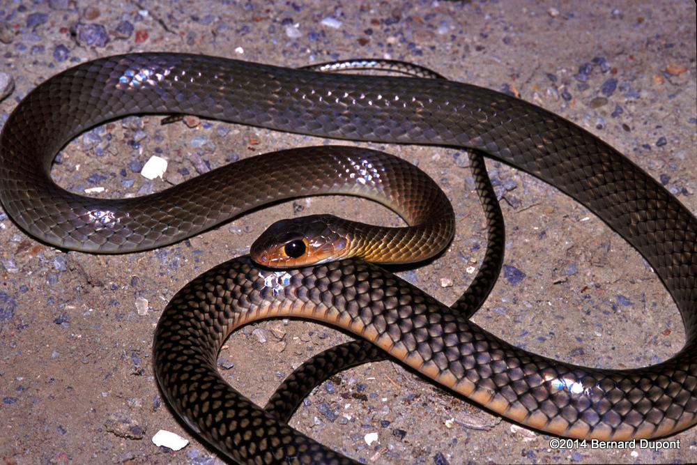 Indo-Chinese Rat Snake | Reptiles and Amphibians of Bangkok
