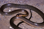 indo-chinese rat snake ptyas korros thailand