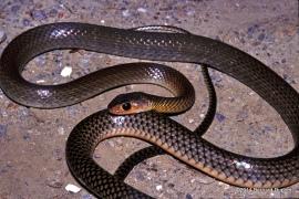 indo-chinese rat snake ptyas korros thailand