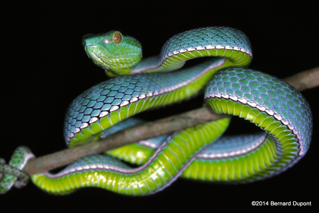 Vogel's Pit Viper (Viridovipera vogeli) khao yai bernard dupont