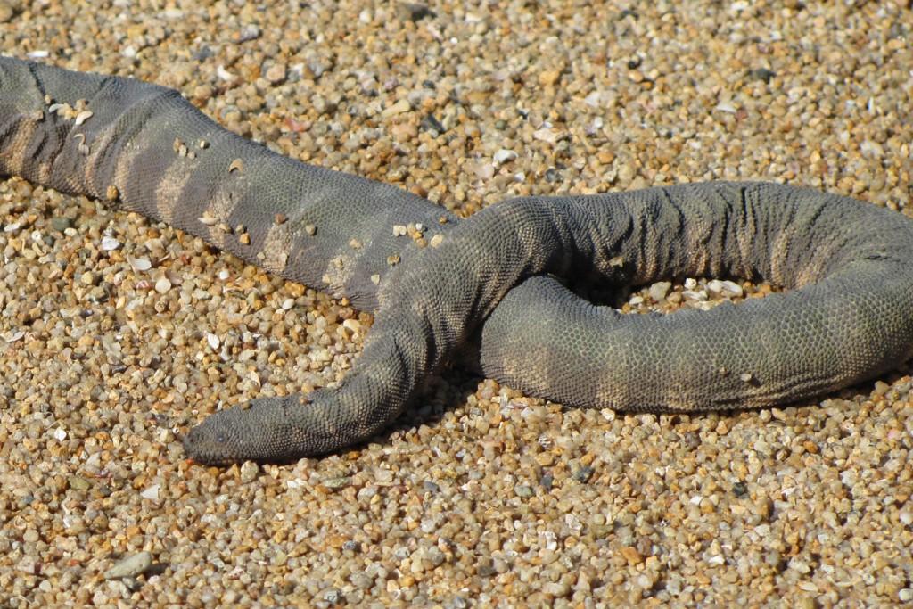 marine file snake banded little granulated Acrochordus granulatus austrailia