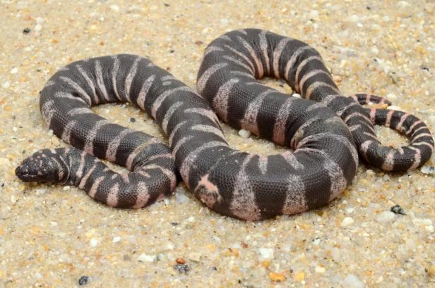 little file snake wart snake Acrochordus granulatus malaysia