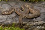 Javan File Snake (Acrochordus javanicus)