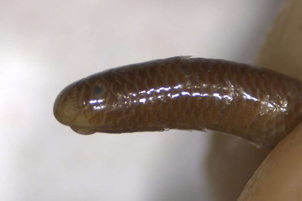 Flower's Blind Snake from the vicinity of Bangkok (CAS 101599, photo by Erica Ely)