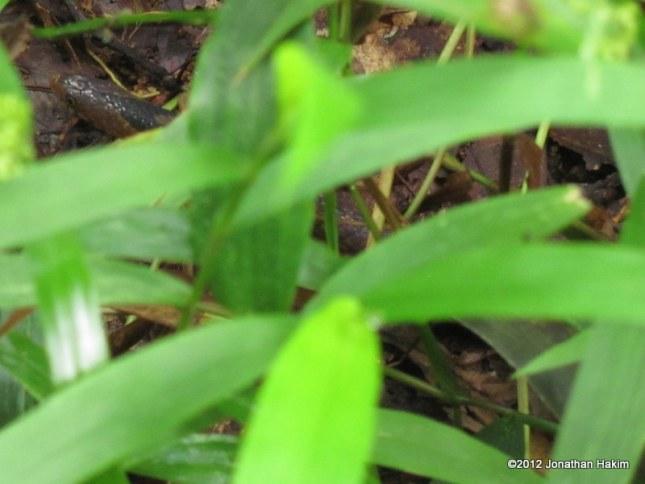 Assam Mountain Snake Plagiopholis nuchalis