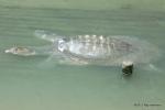 Asian Softshell Turtle  30 NOV Amyda cartilaginea Bangkok, Ray Hamilton