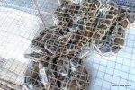 Burmese Pythons python bivittatus bivittatus for sale in Vietnam