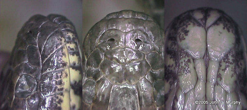 Sind River Snake Enhydris chanardi scales