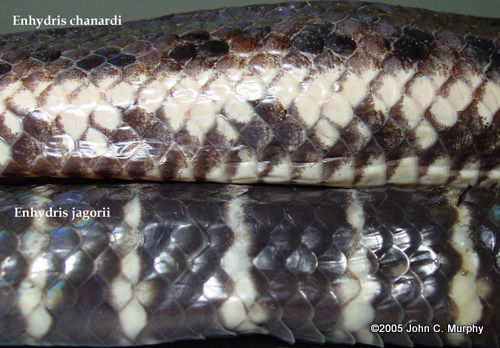 Chanard's Mud Snake Enhydris chanardi scales