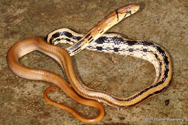 copperhead racer rat trinket Coelognathus radiatus Daniel Rosenberg Hong Kong