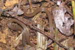 Collared Reed Snake Calamaria pavimentata