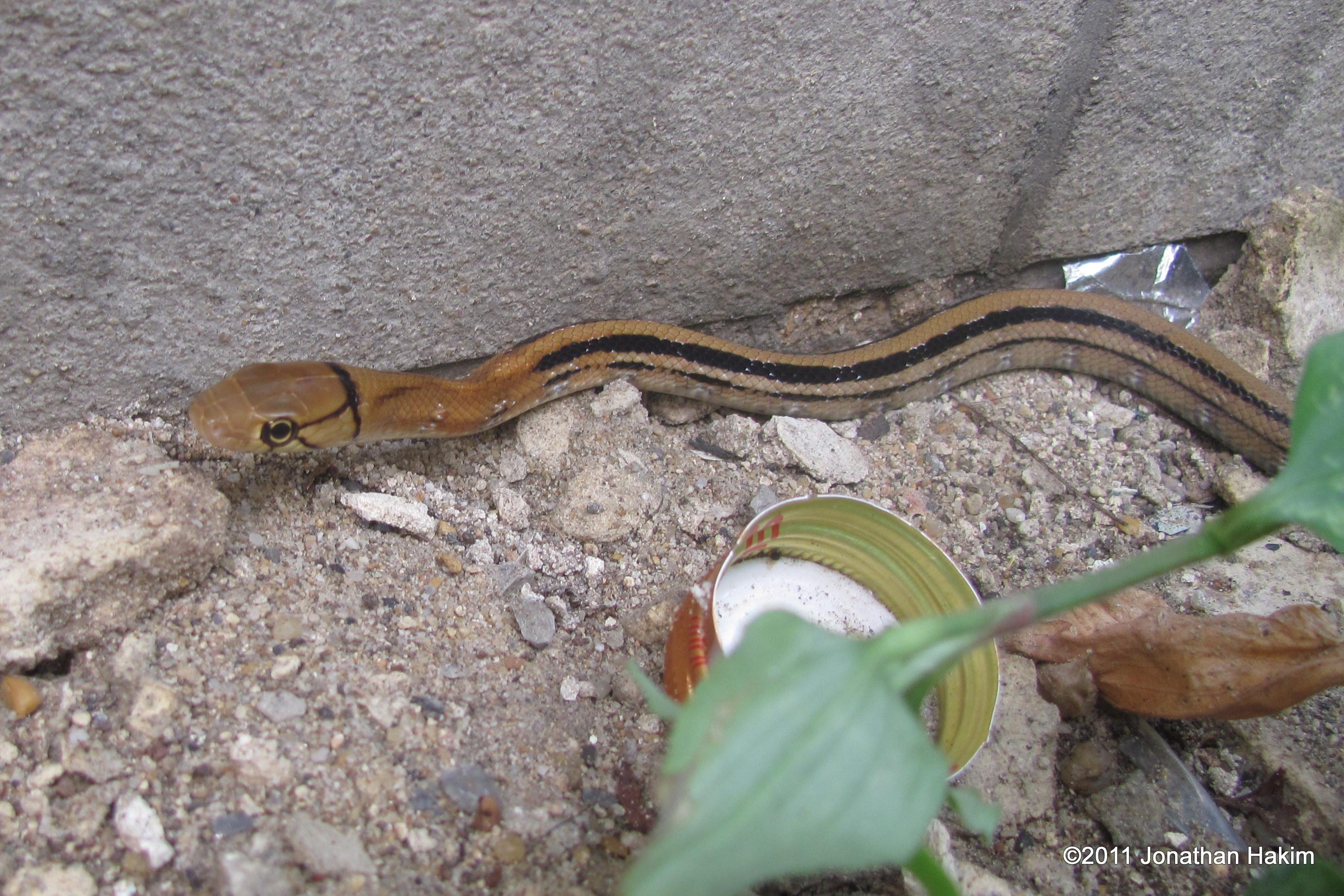 Copperhead Racer rat trinket snake Oh Nut bangkok thailand