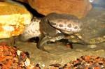 Javan Wart Snake Acrochordus javanicus juvenile feeding